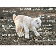 Goat Anatomy: pretty much all I need to know.
