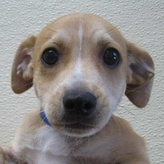 It's Turbo! Turbo is a little #chihuahua blend #puppy who loves kissing, wiggling and romping. He will make a great family pet! #Adopt him in #SanDiego!