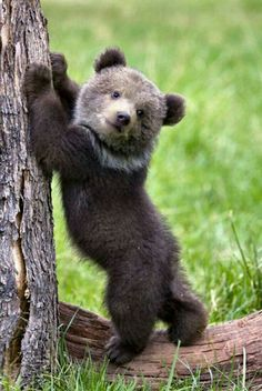 I love baby bear cubs! Nature Animals, Animals And Pets, Wild Life Animals, Cute Baby Animals, Funny Animals, Photo Ours, Black Bear Cub, Bear Cubs, Grizzly Bears