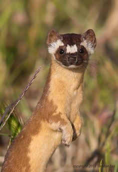 Wild Long Tailed Weasel by Tin Man**