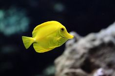 Learn about the Yellow Tang, which is named for its gorgeous bright coloring and is one of the most popular fish for saltwater aquariums. Saltwater Tank, Saltwater Aquarium, Aquarium Fish, Tropical Fish Store, Fisher, Tang Fish, Yellow Fish, Aquarium Supplies, Marine Aquarium