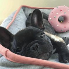 "27.5k Likes, 230 Comments - French Bulldog (@frenchie.world) on Instagram: ""Good morning @jipthefrenchie . . . . . #frenchie #frenchieoftheday #französischebulldogge…"""