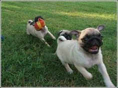 Pug Information: Your Information Source for Everything Pug