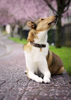 Beautiful Smooth Collie by nonbooty Smooth Collie, Rough Collie, Collie Dog, I Love Dogs, Cute Dogs, Saarloos, Purebred Dogs, Dogs And Puppies, Doggies