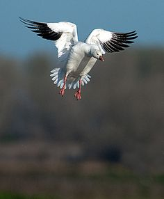 landing is never easy. Snow Goose Hunting, Geese Breeds, Taxidermy Display, Duck Art, Migratory Birds, Camping Survival, Wildlife Art, Free Time, Wood Burning