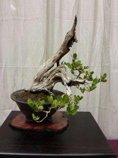 Buttonwood Bonsai