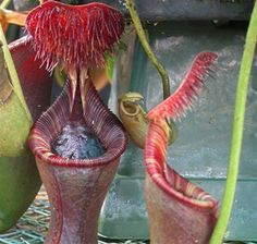 pitcher plant - Iowii x-small (look at that weird hair)
