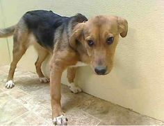 P U P P Y - A L E R T - URGENT - Brooklyn Center    SAVANAH - A0990358   FEMALE, BROWN / BLACK, COLLIE SMOOTH / GERM SHEPHERD, 4 mos  STRAY - EVALUATE, NO HOLD Reason STRAY  Intake condition NONE Intake Date 01/25/2014, From NY 11434, DueOut Date 01/28/2014 https://www.facebook.com/photo.php?fbid=747262461953302&set=pb.152876678058553.-2207520000.1390756888.&type=3&theater