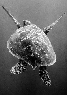 """Big"" Turtle!"
