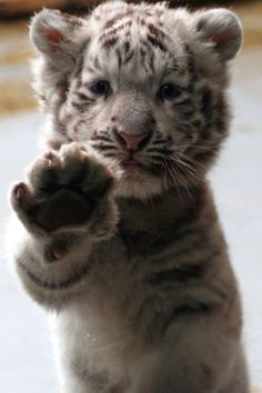 I will raise a baby tiger one day and give it to the zoo(: Baby giraffe ? Cute and Cuddly Baby Animals Crazy Cats, Big Cats, Cats And Kittens, Siamese Cats, Cute Baby Animals, Animals And Pets, Funny Animals, Wild Animals, Exotic Animals