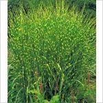 PN1413 Pflanzen - Stauden - Bodendecker und niedrige Stauden - Zebra-Gras,1 Pflanze