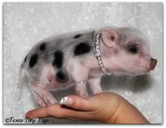 Some people have chihuahuas, I need a tiny pig. That is, until I can figure out how to get a tiny cow.