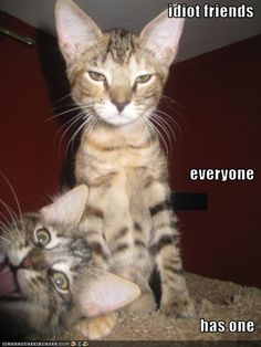 What the cat at the bottom does not know is that the cat behind him is making funny faces.  I have friends who do that.