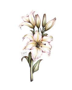 lily botanical illustration art drawing  www.7amatelier.com