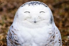 One very content snowy owl pictured by Edward Kopeschny for the Comedy Wildlife Photo Awards Ontario, Canada. (Photo by Edward Kopeschn/Barcroft Images/Comedy Wildlife Photo Awards)