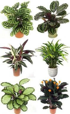 Variety of calathea. Variety of calathea. Shade Plants, Green Plants, Tropical Plants, House Plants Decor, Plant Decor, Calathea Lancifolia, Planting Succulents, Planting Flowers, Calathea Plant