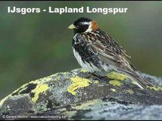 Vogelgeluid / Birdsound - Gorzen / Buntings (+afspeellijst)