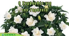 8 tips for a beautiful gardenia – Embroidery Desing Ideas Apron Pattern Free, Indoor Plants, Home And Garden, Bloom, Gardening, Green, Tips, Flowers, Beautiful