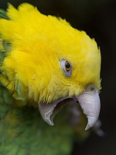 A closer view of the same bird, this time with open beak! Exotic Birds, Colorful Birds, Exotic Pets, Amazon Birds, Amazon Parrot, Most Beautiful Birds, Cockatoo, Pet Birds, Birds 2