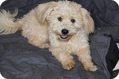Agoura Hills, CA - Maltese/Poodle (Miniature) Mix. Meet 'NORA', a dog for adoption. http://www.adoptapet.com/pet/15293954-agoura-hills-california-maltese-mix