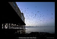Nearing the end of the daily murmuration. Thousands of starlings settle to roost on Aberystwyth's pier.