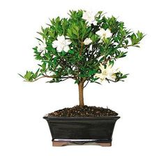 The Gardenia Bonsai tree from Nursery Tree Wholesalers is known and loved for the splendid, white flowers that bloom from its branch March through June.