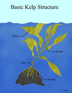Ecology Of Seaweed And Its Environmental Significance Kelp Forest, Sea Otter, Amazon Rainforest, In The Tree, Environmental Science, Seaweed, Ecology, Forests, Google Search