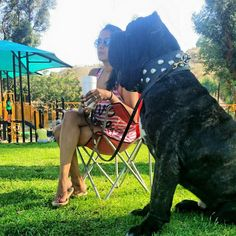 Neapolitan Mastiff THE DON at 14 months 6-6-2015. Follow us, visit our site at www.oldworldmastinos.com and on instagram at oldworldmastinos #Neapolitan mastiff #neo