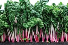 Learn when to plant Peppermint Chard Seeds in our How to Grow Swiss Chard instructions in the information tab below. Chard is great for companion planting. Herb Seeds, Garden Seeds, Edible Plants, Edible Garden, Growing Swiss Chard, Organic Seeds, Ornamental Plants, Growing Tomatoes, Growing Vegetables
