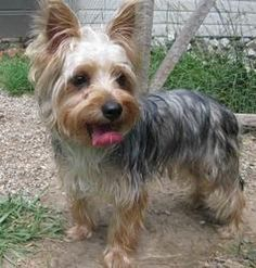 Toto is an adoptable Yorkshire Terrier Yorkie Dog in Raytown, MO. Well we don't see this every day in our rescue but we're sure glad to have him! What a little sweetie. Toto was an owner surrender whe...