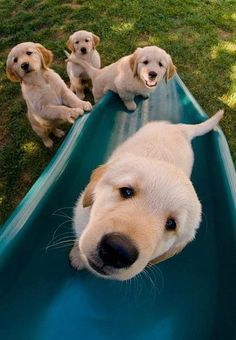 Astonishing Everything You Ever Wanted to Know about Golden Retrievers Ideas. Glorious Everything You Ever Wanted to Know about Golden Retrievers Ideas. Animals And Pets, Baby Animals, Funny Animals, Cute Animals, Animal Fun, Cute Puppies, Cute Dogs, Dogs And Puppies, Doggies