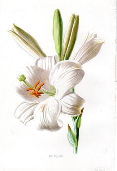 1887 Antique Flower Print WHITE LILY Lithograph Original Botanical Art