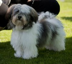 Image result for lhasa apso Face Cuts