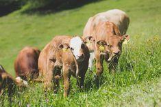 Kräuterreiche Wiesen Cow, Animals, Free Range, Cattle, Animais, Animales, Animaux, Animal, Stuffing