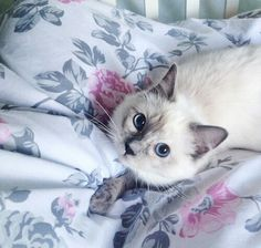 The prettiest eyes on a cat ever