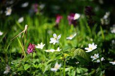 Skovbundsplanter på Helnæs #tv2vejret #fyn #nature #visitdenmark #naturelovers #natur #denmark #danmark #dänemark #landscape #nofilter #assens #mitassens #opdagdanmark #fynerfin #assensnatur #vielskernaturen #visitassens #instapic #picoftheday #forår #sky