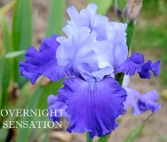 ~TB Iris germanica 'Overnight Sensation' (Schreiner, 1995)