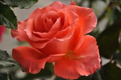 Róża, Różowa