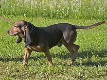 The Bruno Jura hound (Jura Laufhund)-related to the Bloodhound and closely related to the St. Hubert Jura Hound. They are found in a variety of colors and have a broad head and heavy wrinkles, which differentiate them from the other Swiss hounds. It is known for hunting fox, hare, and sometimes even small deer.  Weight34 to 44 pounds Height17 to 23 inches Life span12-13 years