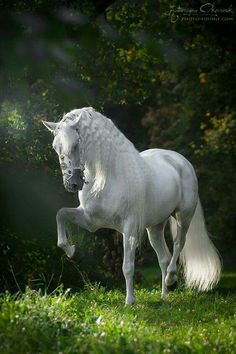 Beautiful white horse prancing in the lush green grass!