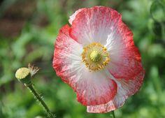 Silkkiunikko - Poppy