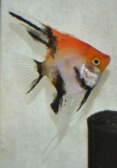 Orange Deluxe Koi Angelfish Live Aquarium Fish, Freshwater Aquarium Fish, Angel Fish Tank, South American Cichlids, Siamese Fighting Fish, Live Fish, Water Life, Beautiful Fish, Fish Art
