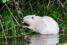 Nutria The Effective Pictures We Offer You About albino animal photography A quality picture can tel Interesting Animals, Unusual Animals, Strange Animals, Castor Animal, Animals Of The World, Animals And Pets, Beautiful Creatures, Animals Beautiful, Rare Albino Animals