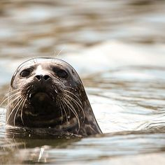 Up close and personal with our stalker! #montereybay #santacruz #mosslanding #kayaking #seals #wildlife #wildlifephotography #californialiving #viewsfromcalifornia #weekends #a7rii #montereybaylocals - posted by Peter Newell https://www.instagram.com/waitingonsunset - See more of Monterey Bay at http://montereybaylocals.com