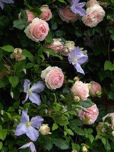 Climbing Plants in a cottage garden, roses and clematis Garden Shrubs, Garden Landscaping, Garden Trellis, Landscaping Ideas, Beautiful Gardens, Beautiful Flowers, Rare Flowers, Garden Types, Garden Cottage