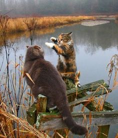 "* * "" Dis be me own fishin' pond and me be gonna slash yer face.""  [CAT: "" Aw knock it off tough guy. Der's no point in fightin'. Weez kin share."""