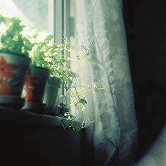 green growing things at the window, beautiful curtains.