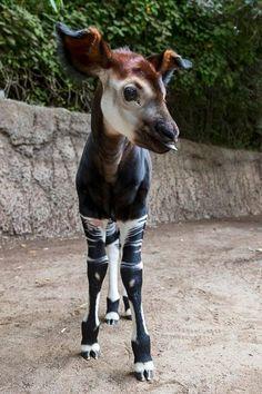 Baby Okapi Click here for more adorable animal pics!