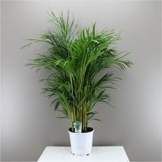 A lovely indoor palm thats easy to care for - Beautiful butterfly indoor palm tree - Chrysalidocarpus lutescens Buy Indoor Plants, Patio Plants, Small Plants, Cool Plants, Indoor Palm Trees, Indoor Palms, Palm Tree Leaves, Plant Leaves, Tree Interior
