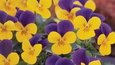 Viola 'Floral Power® Gold Purple Wing'  add team spirit colors to party salads or cake decorations